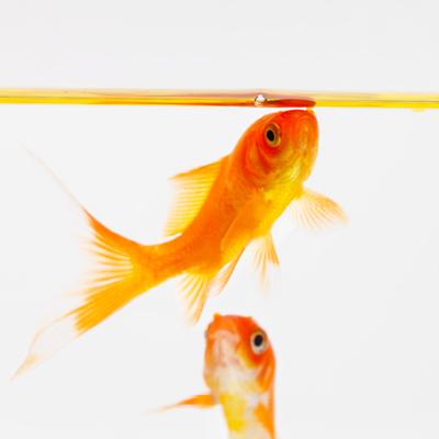 Der gew hnliche goldfisch haltung im teich und im for Zierfische im teich