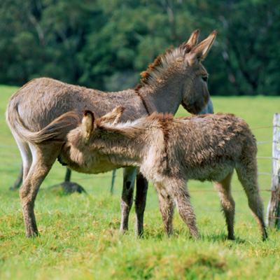 Atemberaubend So halten Sie Esel artgerecht : Unterbringung : YaaCool #OP_23